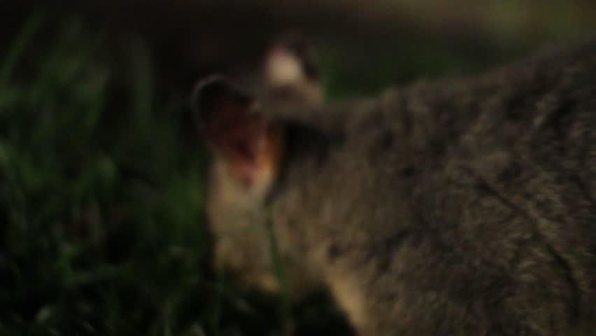 Australian brushtail possum eating grass close up shallow depth of field