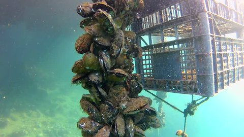 Underwater plantation for growing shells, mussels and oyster in the sea