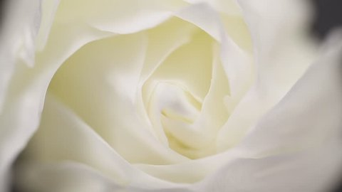 Slowly revolving white rose flower with black background