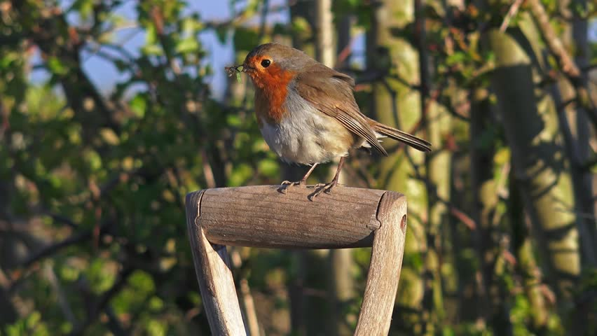 Red Robin bird on garden spade (with audio) - Staffordshire, England - May 2016