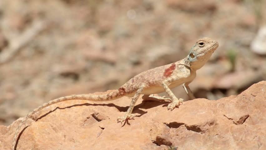 Sinai Agama lizard Beautiful shot of Sinai Agama lizard on a rock