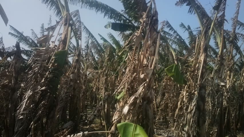 Banana plantation after harvest 2. Dried lower leaves swaying in wind, winter. India, Kerala.