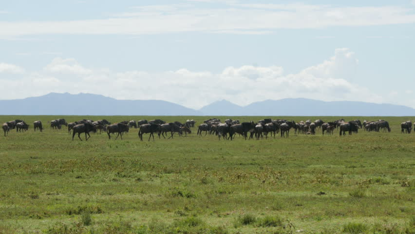 Huge amount of Wildebeests during migration in Serengeti national park Tanzania Africa - 4K Ultra HD | Shutterstock HD Video #16540384