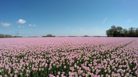 Aerial drone drifting right very low altitude over pink tulip field showing colorful pink tulip field polder landscape tourist attraction in springtime in Holland Netherlands blue sky background 4k