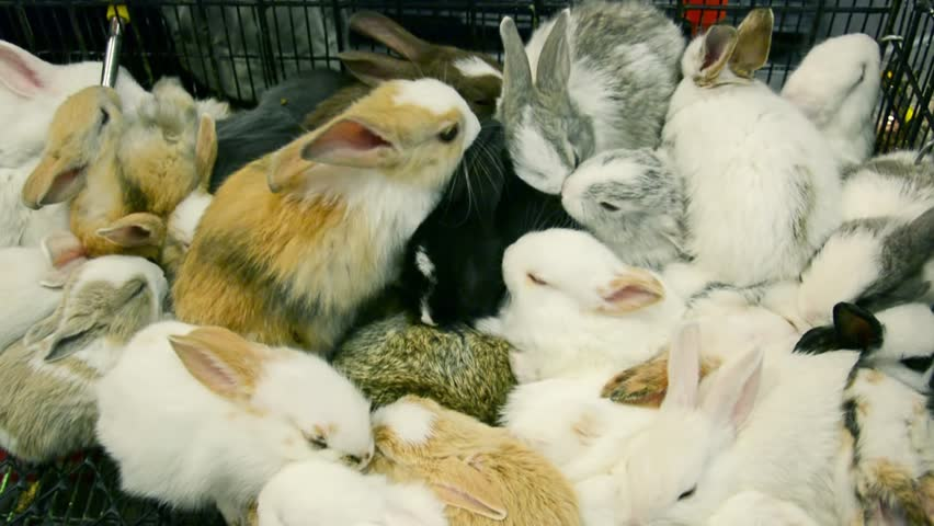 Many cute little active white furry baby rabbits piling up in the cage in pet shop ready for sell in HD