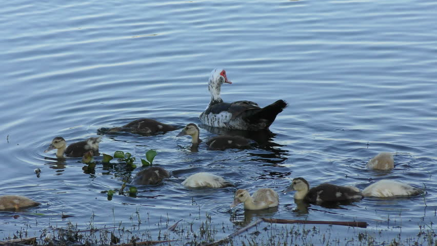 Muscovy Duck with its chicks