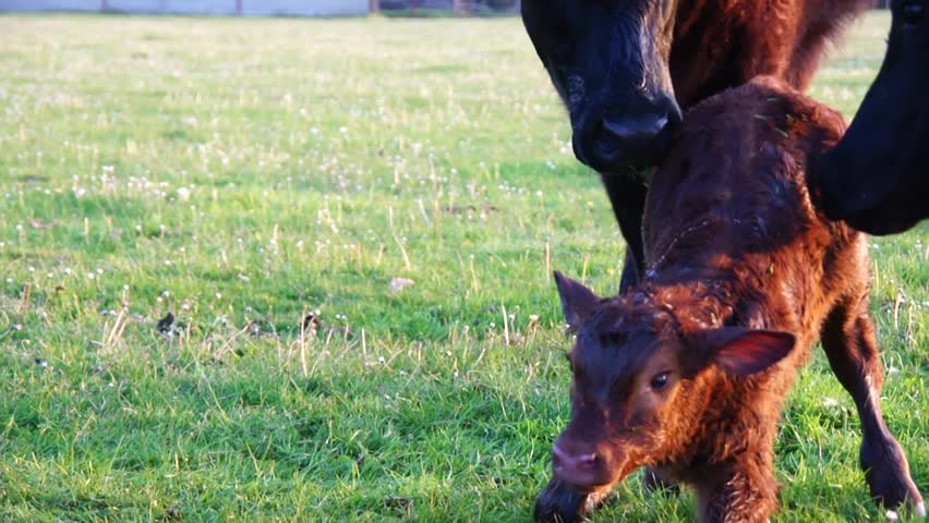 New born calf struggling to rise to its feet and stands up for very first time making first steps small hoofs mother cow licking young infant vigorously Aberdeen Angus cattle just minutes after birth