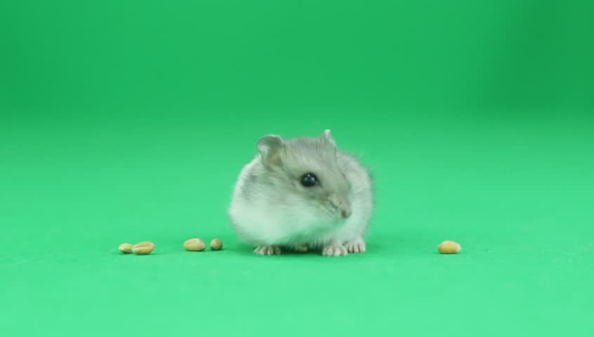 Hamster on a green background   Shutterstock HD Video #16744810