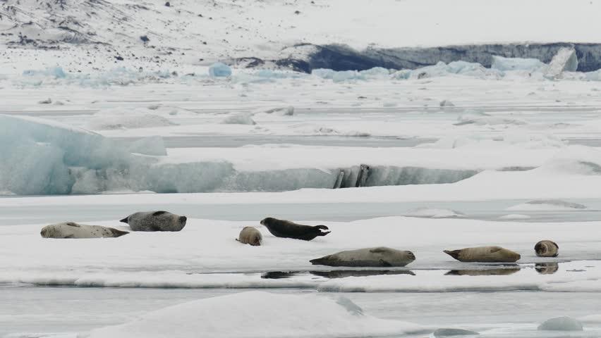 Seal lying on ice sheet, Jokulsarlon Glacial Lagoon, Vatnajokull national park, Iceland.