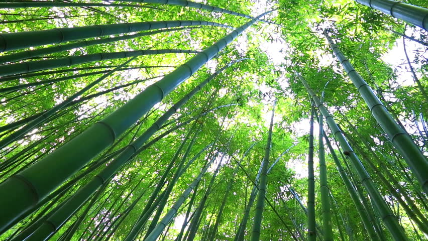 Bamboo forest. The trunks of bamboo stretch up high | Shutterstock HD Video #16764544