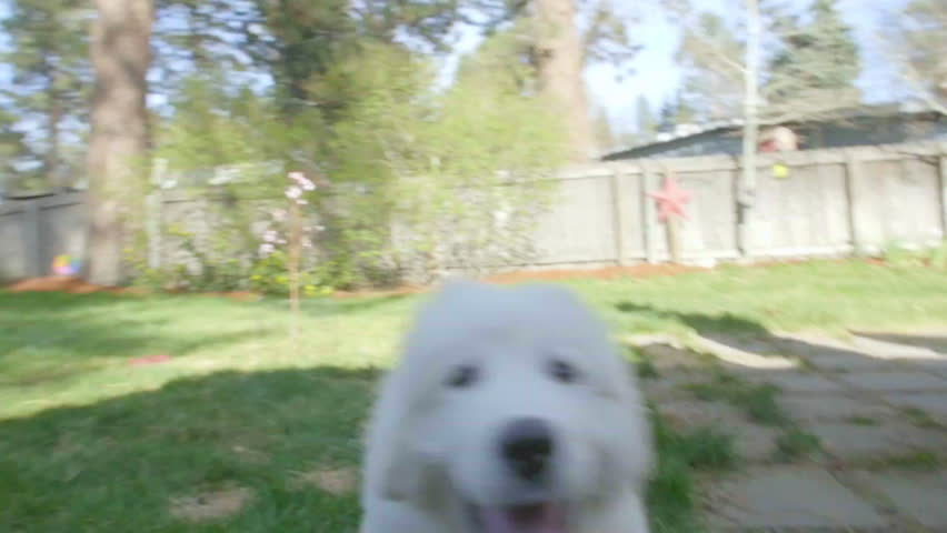 Silly Great Pyrenees puppy dog plays with the cameraman in a suburban backyard