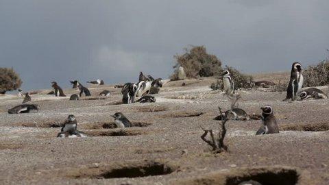 A group of Magellanic penguin at Punta Tombo, Argentina