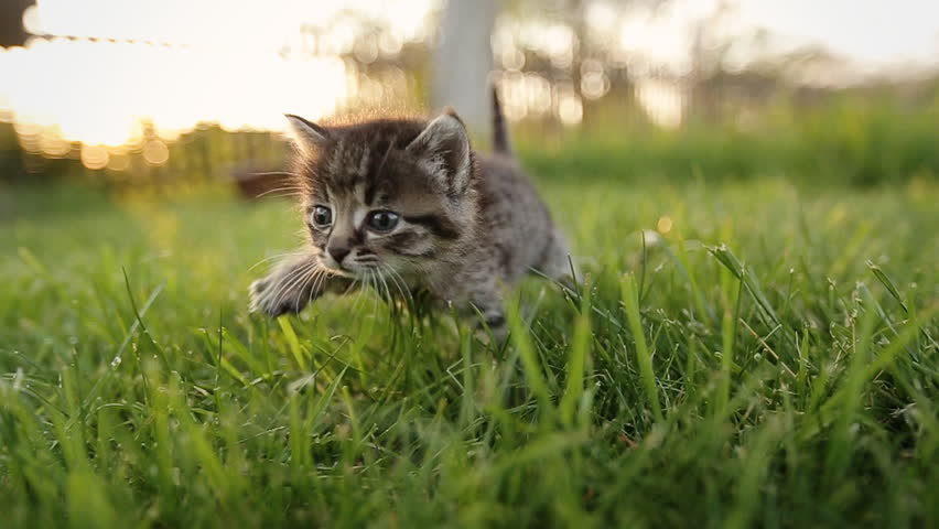 Cute kitty with blue eyes walking on the garden.