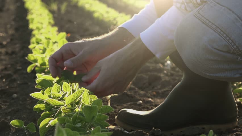 Farmer examining young soybean plants growth in cultivated field, agricultural soy field rows in sunset. | Shutterstock HD Video #16824703