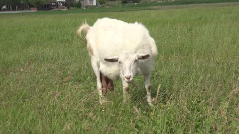 White Young goat grazing on green meadow at edge of hillside, agricultural, farm, rural
