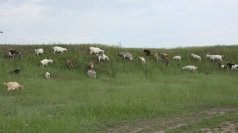 Herd of goats grazing in background of green meadows, hill near farm