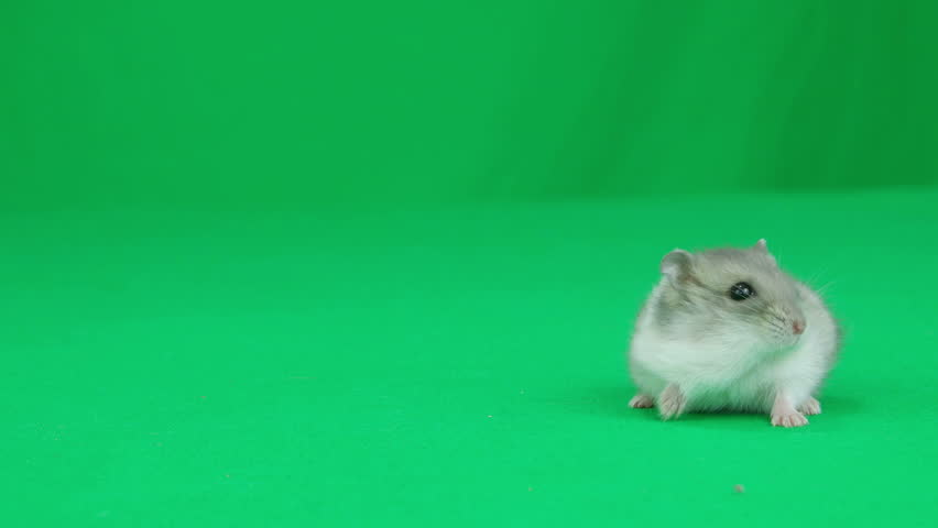 Hamster sitting on a green screen #16914964
