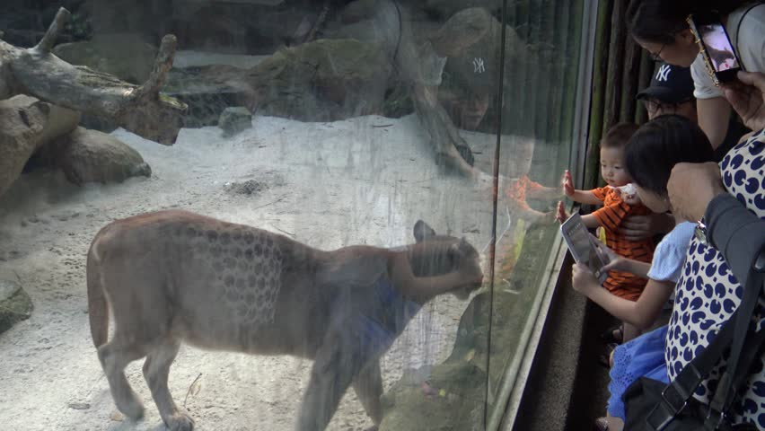 Singapore-12 April, 2015: 4K Editorial, Children looking and taking photograph with camera phone of Puma in the zoo-Dan