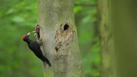 Black woodpecker nesting. Black woodpecker with nest hole in the tree trunk. Forest with black woodpeckers and nest. Wildlife spring nesting scene with bird. Woodpecker parents with young.