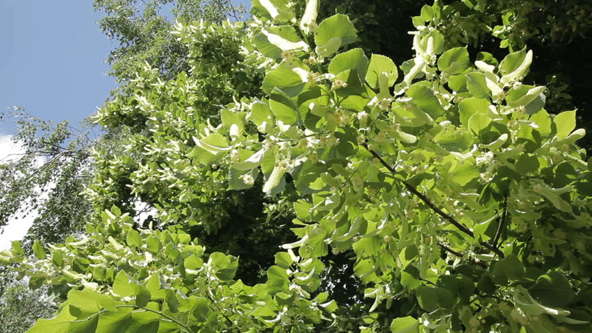 Blooming linden. Flowers of linden tree.