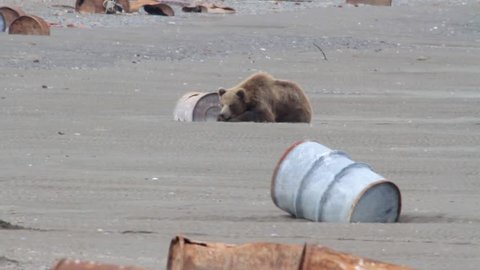 Brown Bear resting in Pulted beach Long shot of Brown Bear lying on Pulted shore