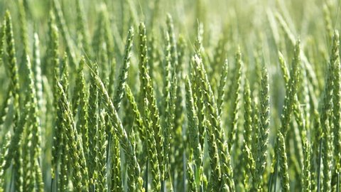 Spelt wheat crops or dinkel hulled wheat growing in cultivated field