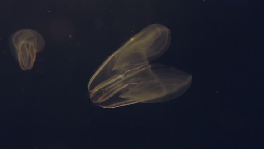 Close Up Shot Of One Glowing Jellyfish Float Through The Atlantic Ocean Rainbow Light
