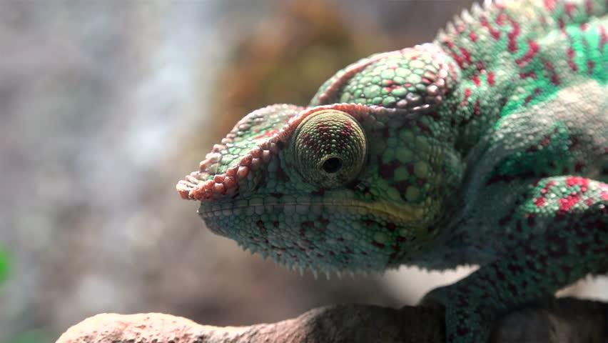 Madagascar Chameleon closeup.
