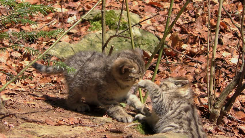 4K footage of two Wildcat (Felis silvestris) kittens in the Bayerischer Wald National Park in Bavaria, Germany. The wildcat is a small cat found throughout most of Africa, Europe and Asia