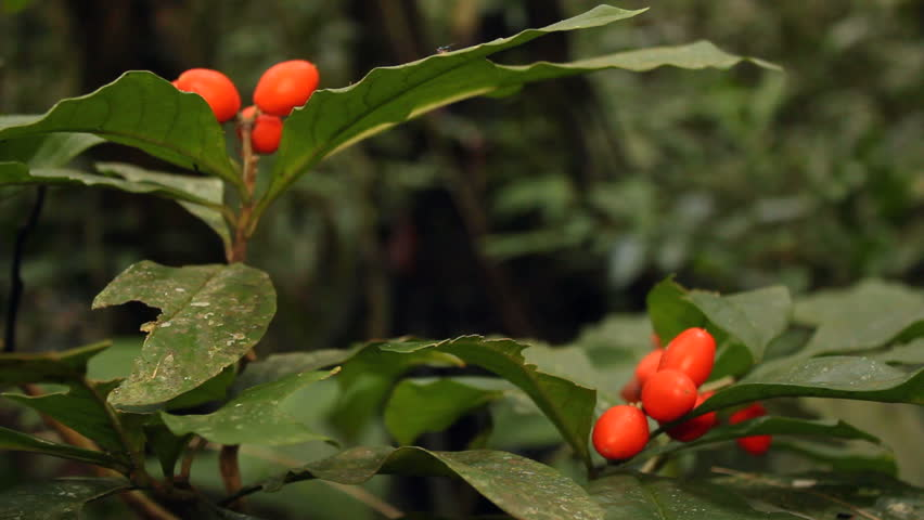 Fruiting understory shrub in rainforest, Ecuador