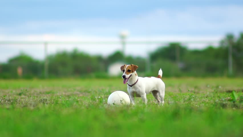 Jack Russel terrier play with football on green lawn,Slow motion 120 fps,Cute puppy dog. #17337094