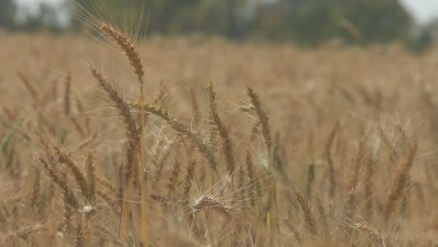 Wheat field in Israel Ungraded footage, shot with flat profile Shot 50fps