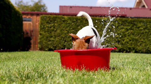 Funny Jack Russell takes a bath on the home green grass yard