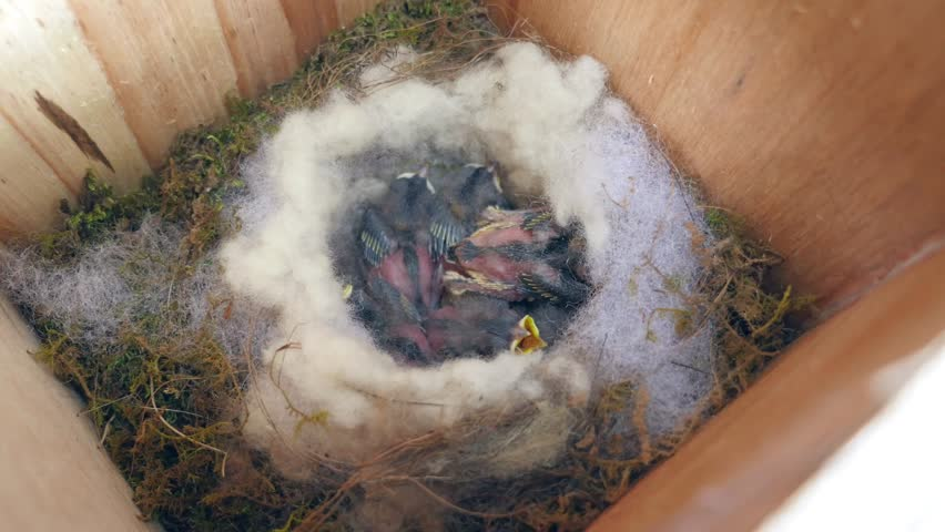 Fledglings of the titmouse, after eight days of incubation