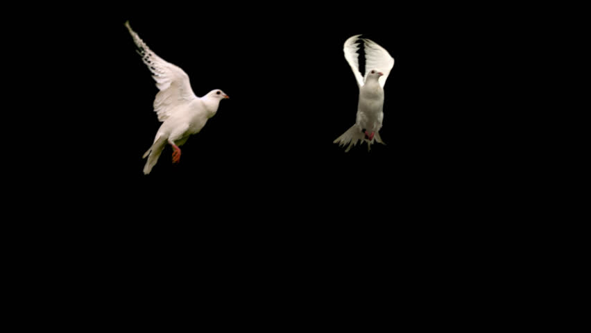 Two white doves - alpha matte Slow motion shot on green screen. Good for wedding backgrounds or titles. #17462734