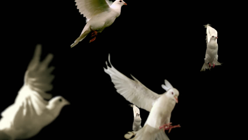 Flock of white doves - alpha matte Slow motion shot on green screen. Good for wedding backgrounds or titles. #17490634