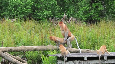 Proboscis Monkeys mating sex