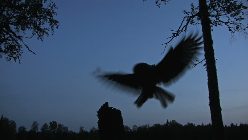 Great Grey Owl in silhouette flight at night