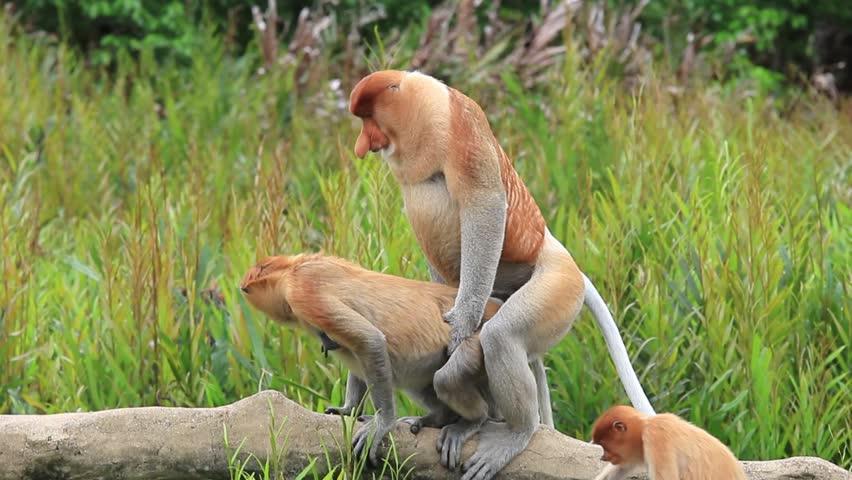 monkey sex videos