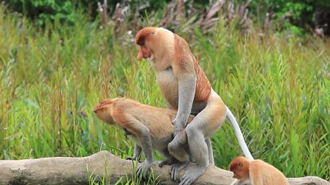 Pair Proboscis Monkeys mating sex