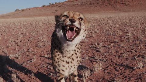 Cheetah snarling and looking towards camera in slow motion