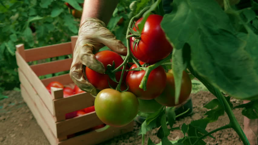 Hand picking tomatoes from the plant and sorting in a wooden box at a greenhouse, close up, low angle view, daylight. | Shutterstock HD Video #17636140