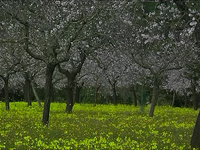 Almond blooming in Spain 4