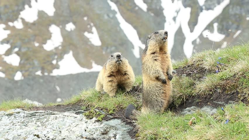 Cute sit up on its hind legs animal Marmot, Marmota marmota, sitting in he grass, in the nature habitat, Grossglockner, Alp, Austria. Animal in the mountain. Marmot sitting on the stone summit.