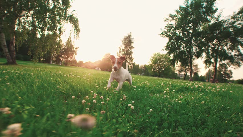 Jack Russell Terrier dog running carefree through the grass in the nature Park, slow motion
