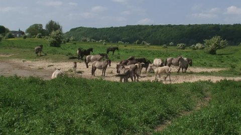 Konik horses, herd roaming on the banks of the river Rhine. Semi-wild herds of konik can be seen today in many nature reserves such as the BLAUWE KAMER, THE NETHERLANDS.