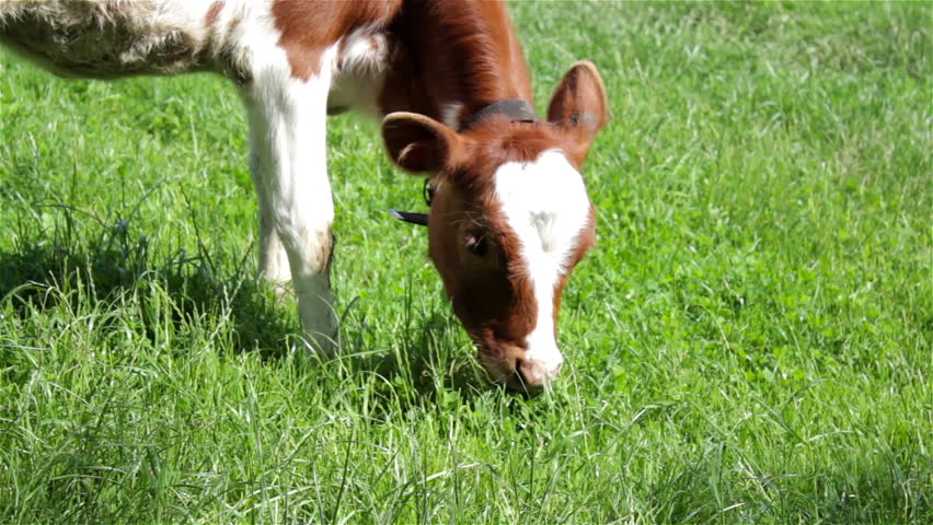 Red cow eat grass/young heifer cow eats grass in pasture