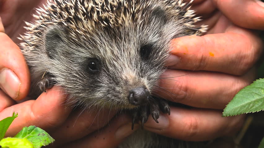 Young Hedgehog in the Hands of Women,summer Sunny Day