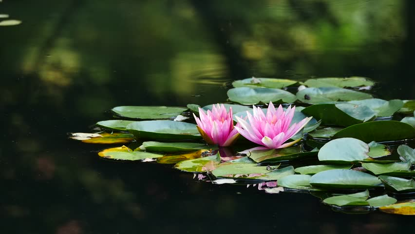 Blooming Lotus Flower And Lilly Pads On Pond