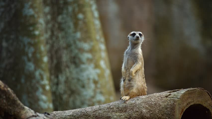 Adorable. solitary meerkat stands tall atop a hollow log in his habitat enclosure. standing guard over his den. 4k UltraHD video